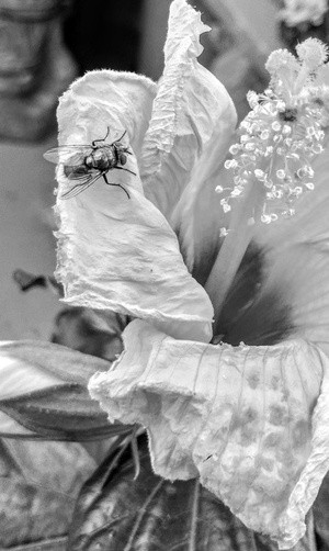 FLY ON A HIBISCUS ....
