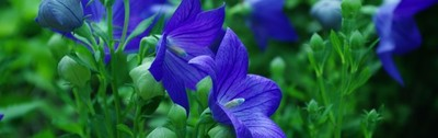 Blue 6 - Balloon Flowers