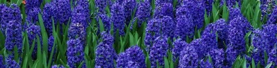 Blue 4 - Hyacinths in Cincinnati Botanical Garden
