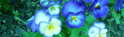 Blue 3 - Massachusetts Pansies