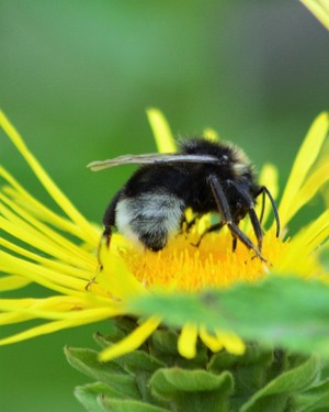 BEE ON DITTRICHIA  (INULA)