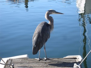 Granville Island heron