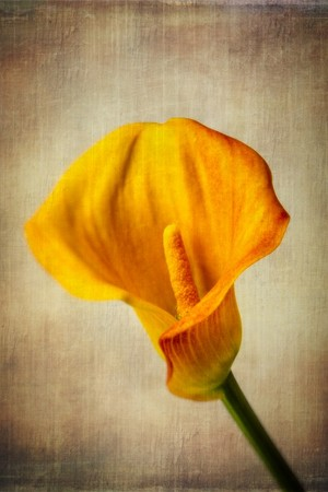 Wonderful Textured Calla Lily