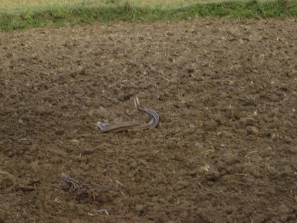 Snakes Mating_2