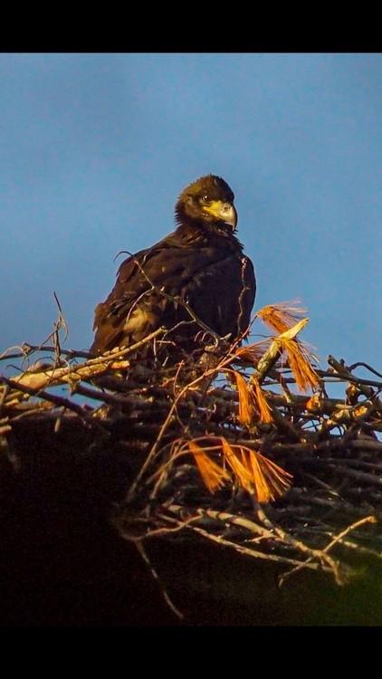 Bald eagle flegdling