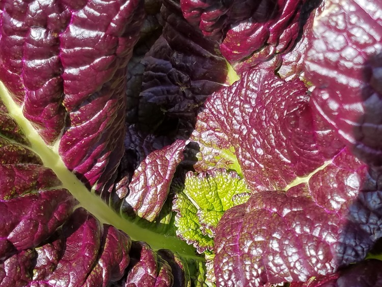 Ornamental Red Cabbage