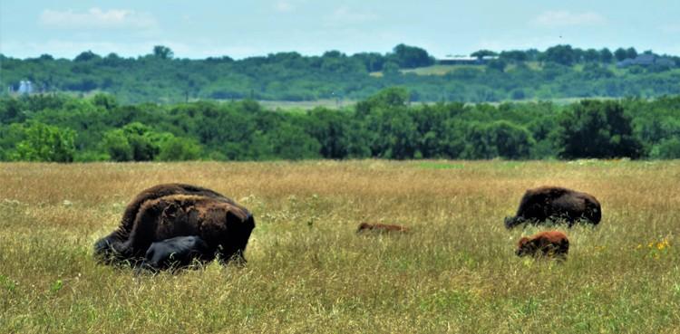 Bison Calves Plus