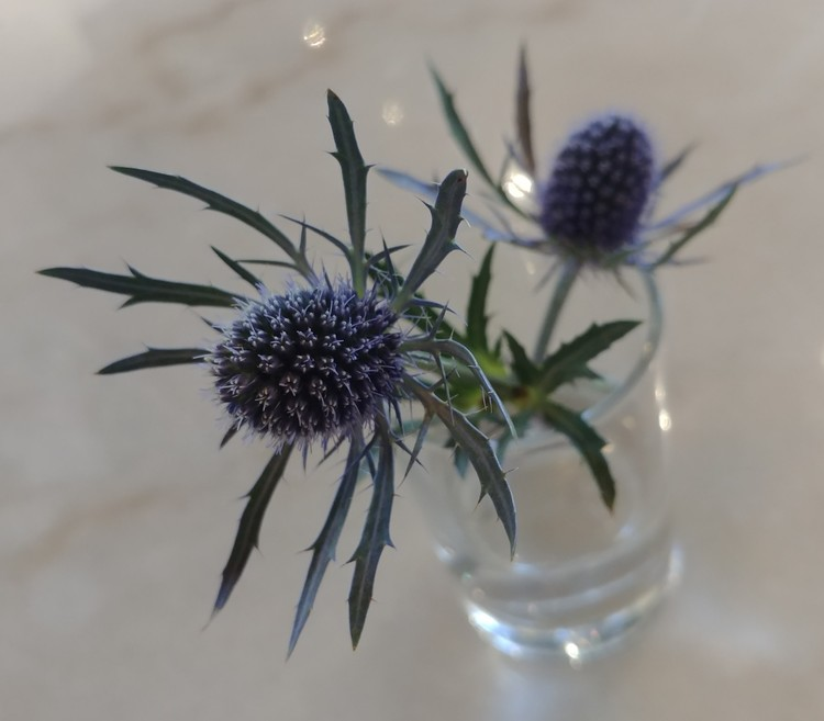 1blue-star-flower