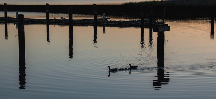 Geese Family & Old Piers at Dawn - April 2019