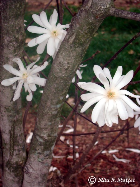 Blooms HIding at Bottom of a Star Magnolia Tree