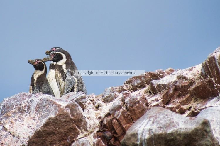 3 Humbolt Penguins