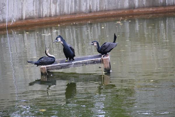 Neotropic cormorants displaying