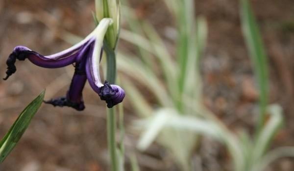 Velvet Iris - Withered