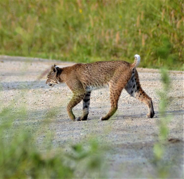 Bobcat HNWR