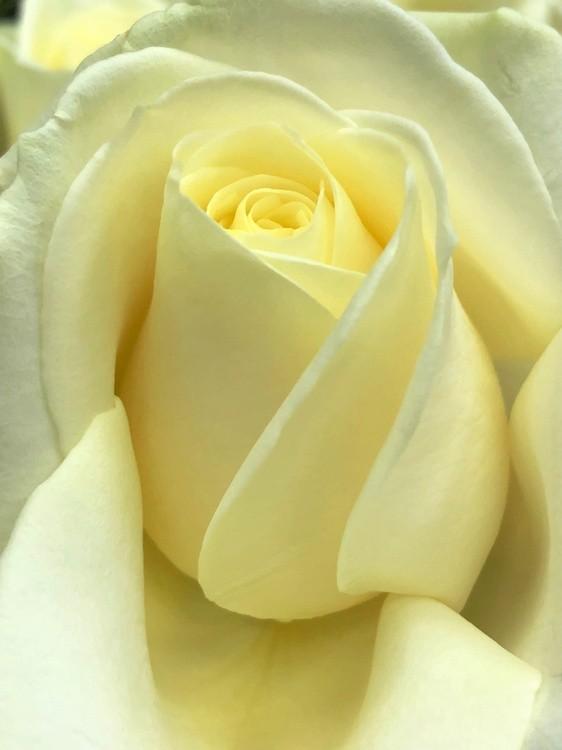 Lemon Rose #1