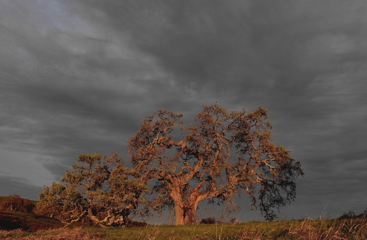 Winter oak at dawn, with storm approaching.
