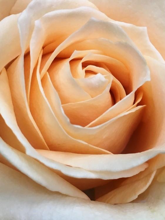 Peach Rose #1