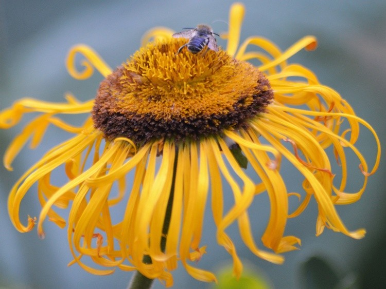BEE ON INULA MAGNIFICA .