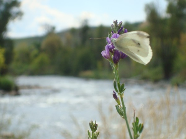 Provo River with Butterfly