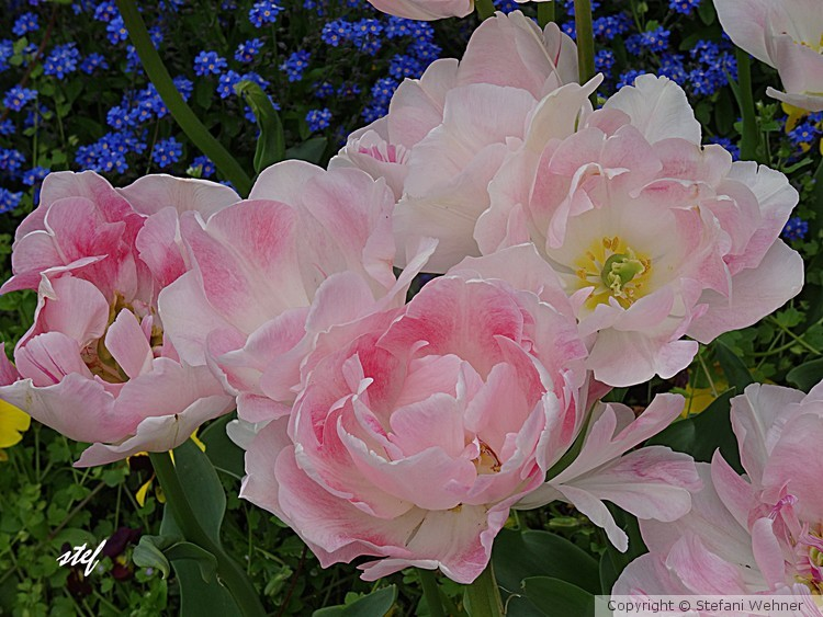 peonies in pink