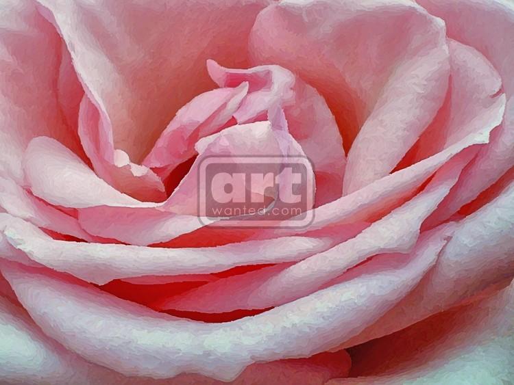 Pastel Pink Rose Closeup