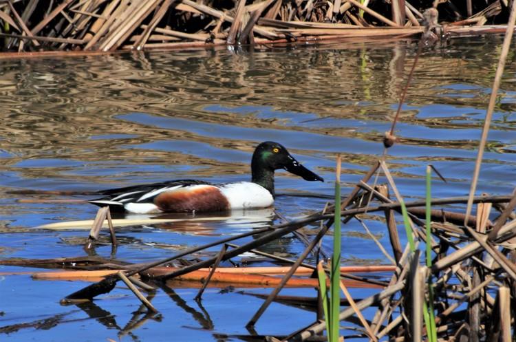 Northern Shoveler Male Duck