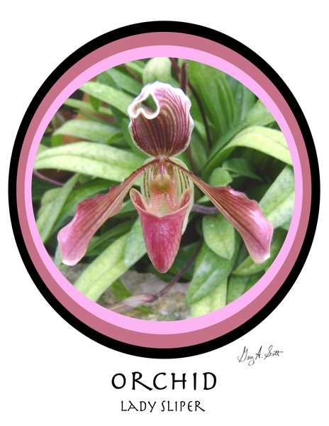 Orchid Lady Slipper