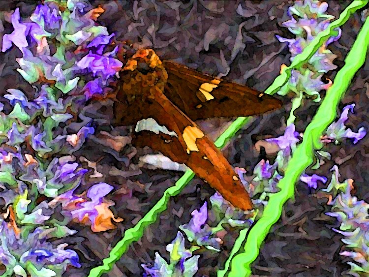 Silver-Spotted Skipper on Lavender 2