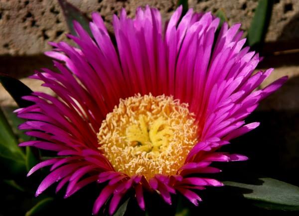 Pink Hottentot Fig