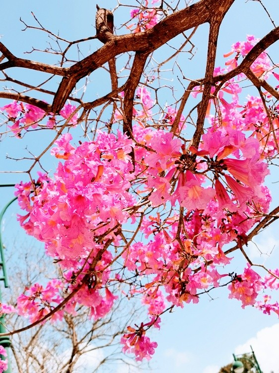 Pink in Spring