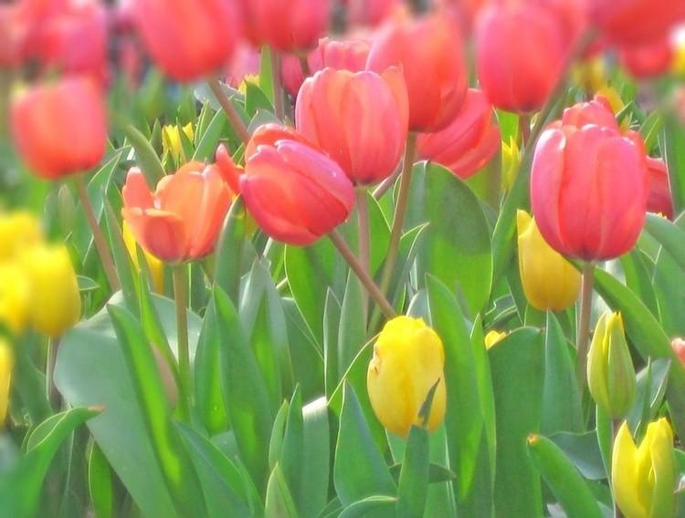 Karen Muro spring tulips