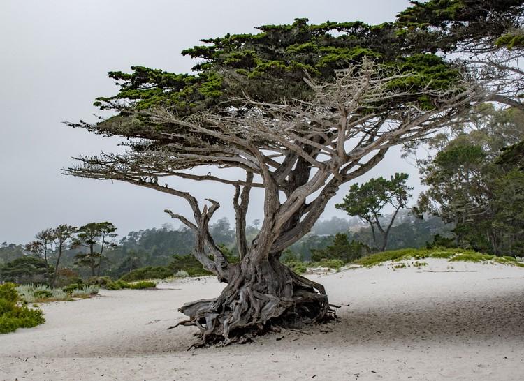Cypress at Carmel Beach - June 2019