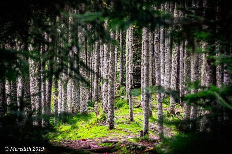 Mossy Evergreen  Grove