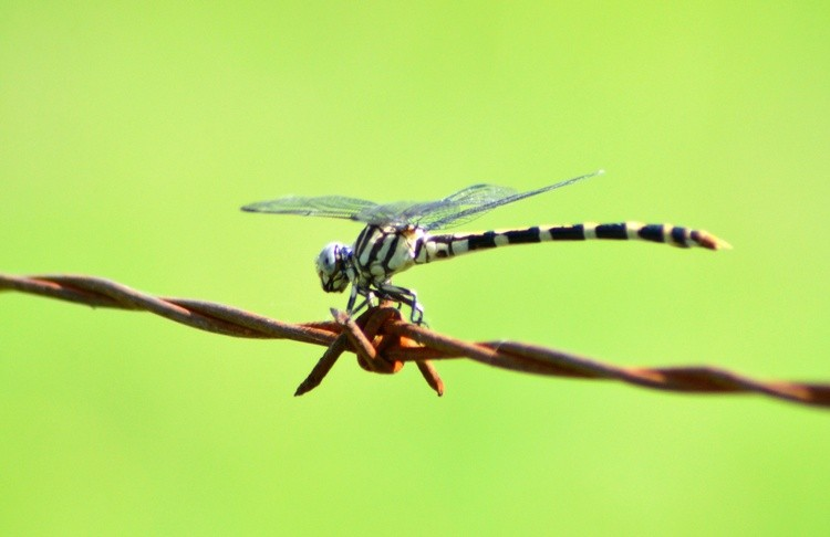 Four-Striped Leaftail Dragonfly