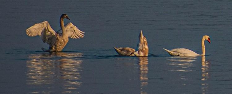Swans along the Martinez Strait - September 2020