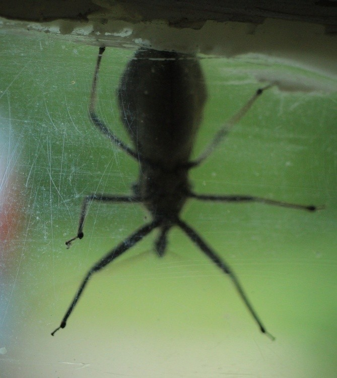 assassin bug - wheel bug