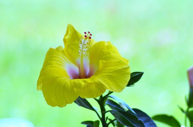 Evening Hibiscus