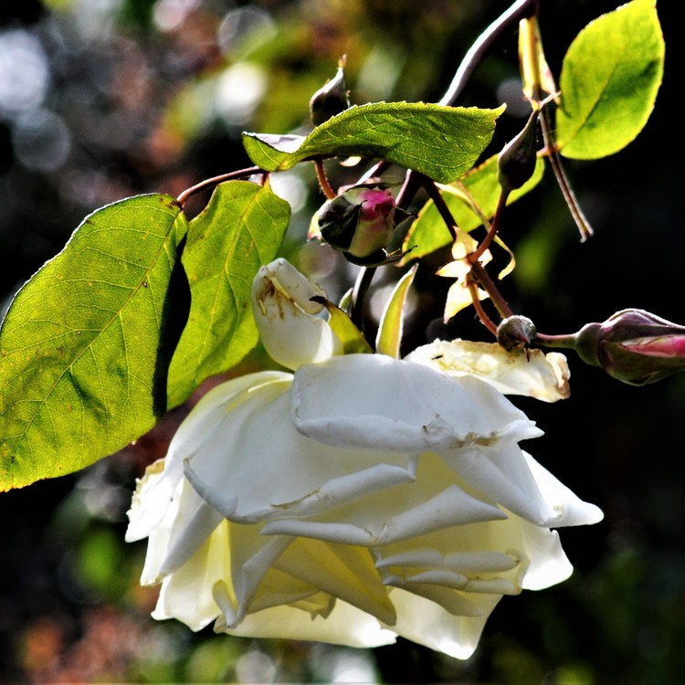 HANGING ROSE
