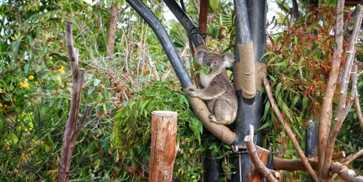 Karen Muro koala eating