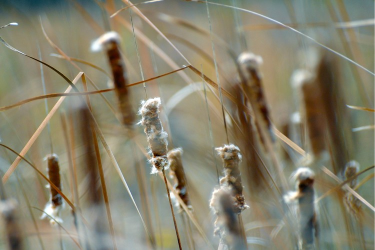 Cattails in the Summer Breeze