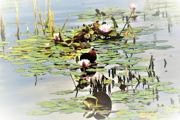 LILIES IN THE POND ..