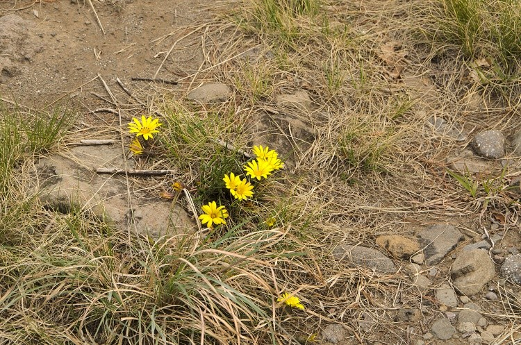 Daisies in the Rocks