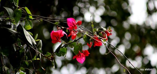 pink on the vine