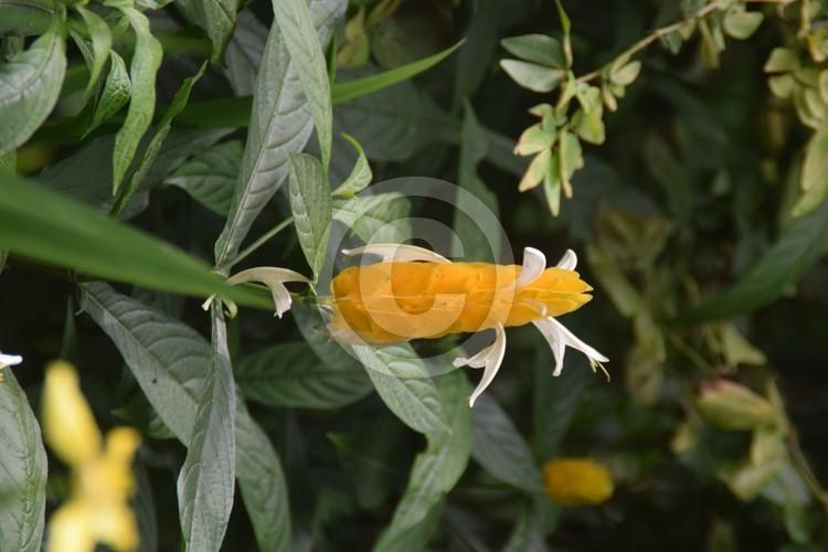 Malaysian Flowers