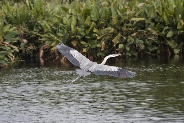 Gracefull Great Blue Heron in Flight