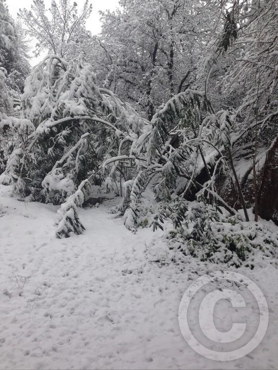 Oleanders in the snow.