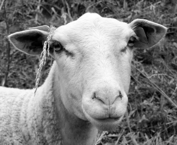 Sheep portrait #6