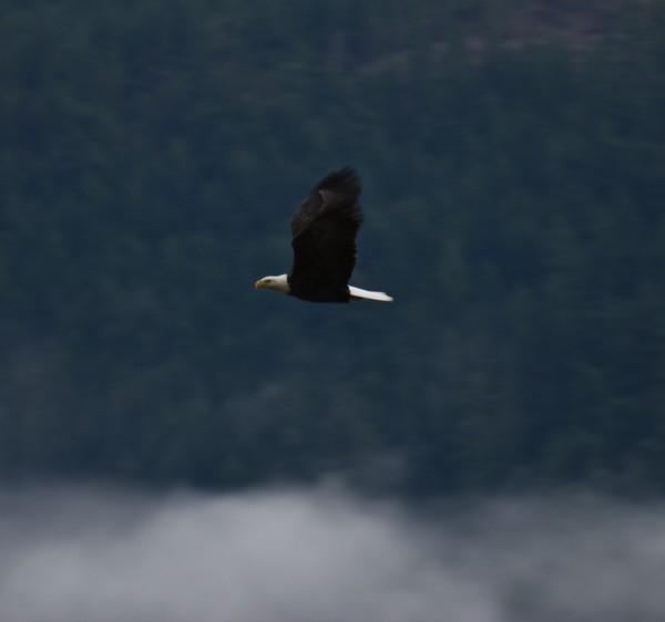 Eagle Fest 08 Tapadera Estates, Misty Flight