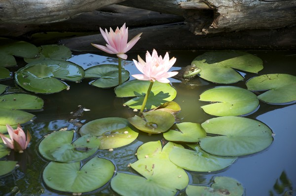 Bullfrog Shade Tree(pond lilly)