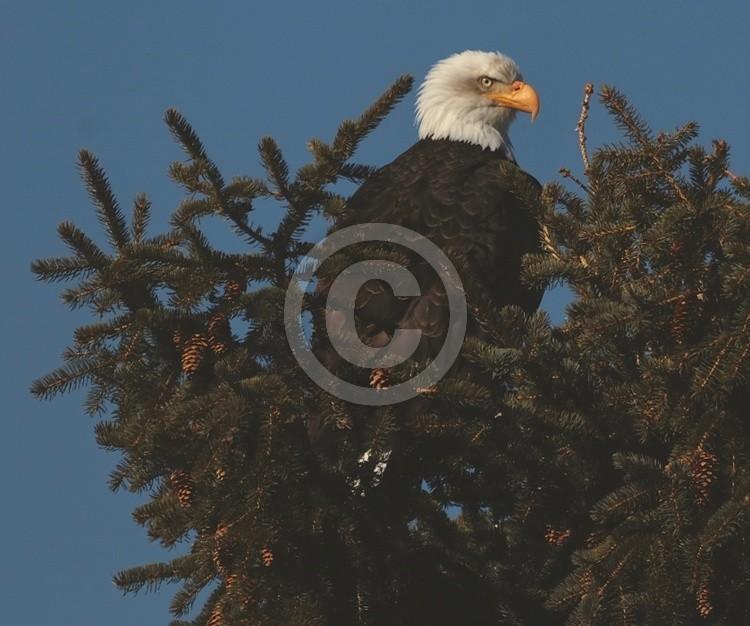 America's Eagle...demoncrats beware